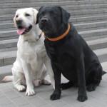 собака-донор